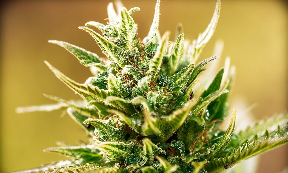 Curing Cannabis Flowers