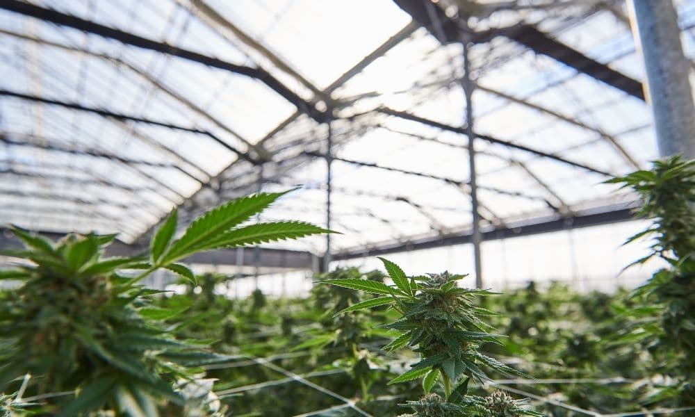 Cannabis Industry Evolution Or Revolution?
