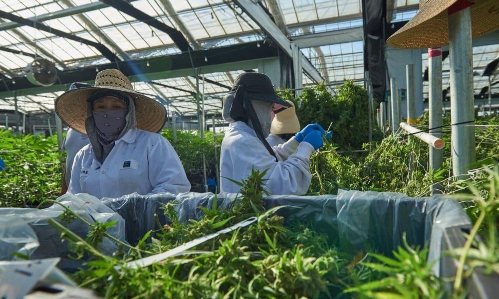 greenhouse cannabis